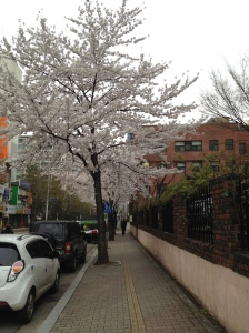 more cherry blossoms than when I took a wild bus ride to a forsaken island in the pouring rain
