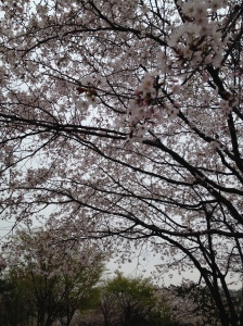 Cherry blossoms will forever make me laugh since the Geoje trip